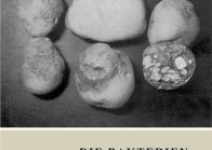 Die Bakterien- und Pilzkrankheiten der Kartoffel
