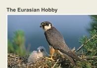 The Eurasian Hobby